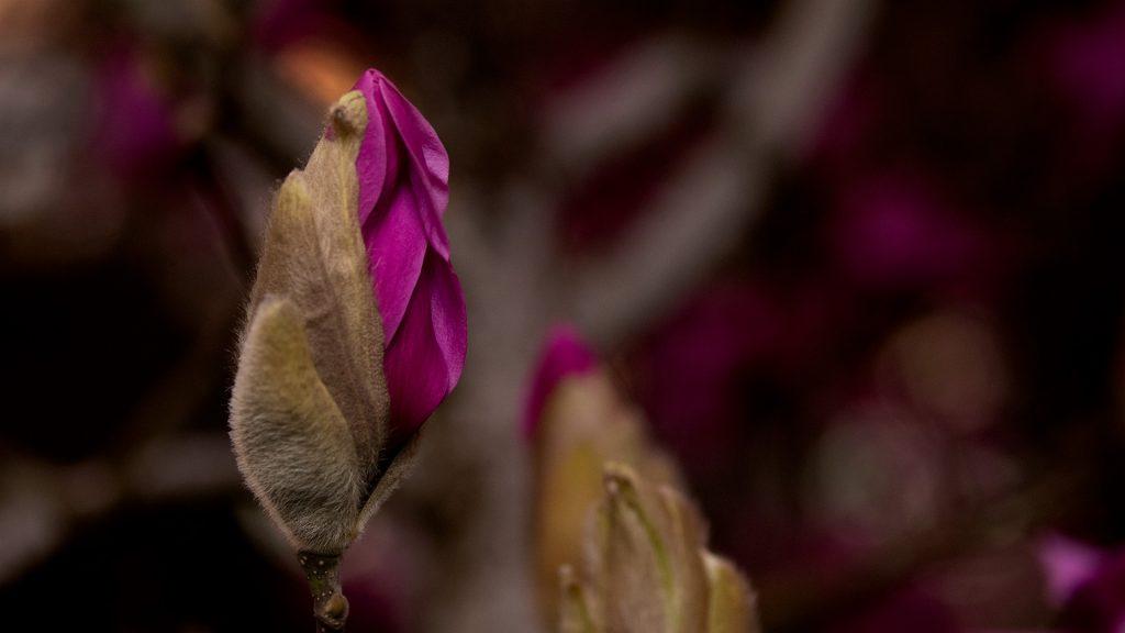Magnolia-Bud